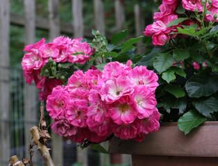 Orange rose under snow, dark red roses under snow, white rose, pink small roses