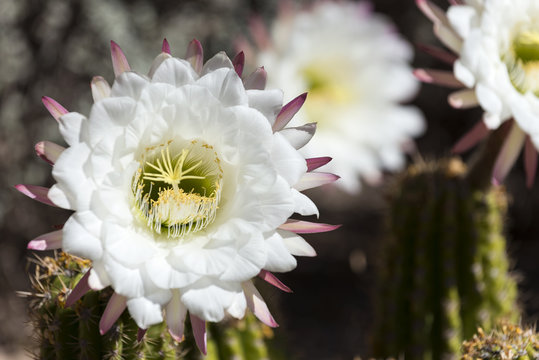 Argentine Giant Blooming
