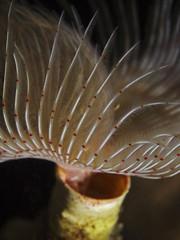 Tube worm, Kalkröhrenwurm (Protula sp.)