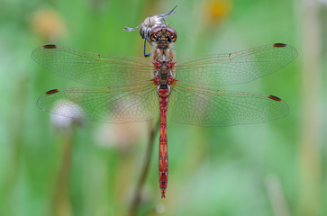 Net wings of dragonfly