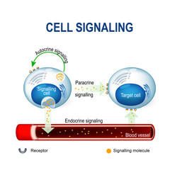 cell signaling. intracrine, autocrine and endocrine signals.