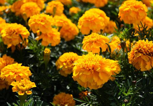 Orange marigolds in a flower bed 4