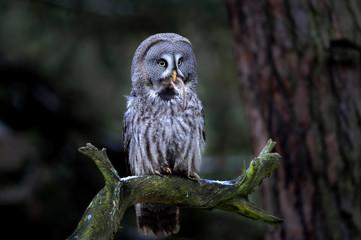 Fototapete - Great grey owl eating prey