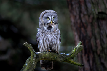 Wall Mural - Great grey owl eating prey