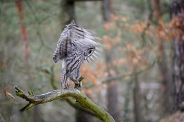 Fototapete - Landing great grey owl