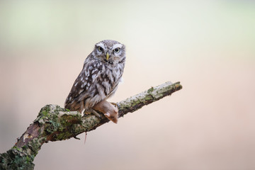 Wall Mural - Little owl with hunted mouse on tree brunch