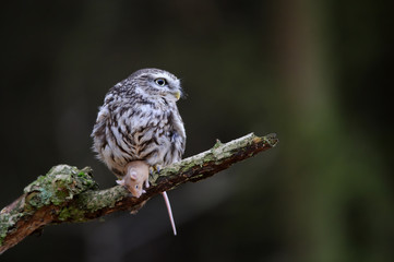Fototapete - Little owl with mouse prey