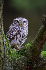 Fototapete - Little owl on tree branch
