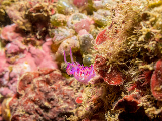 Nudibranch mediterranean