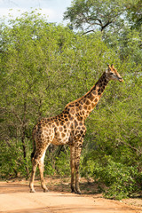 Giraffe grazing in the bush