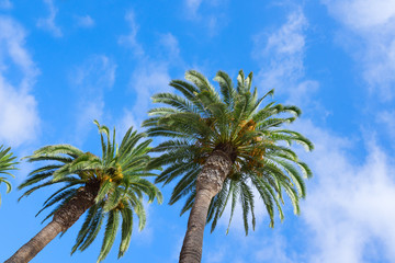 Palms green tree fresh leaves in blue sky