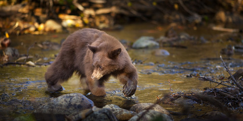 Bear Hunting for Salmon in Creek, Taylor Creek, Lake Tahoe, CA