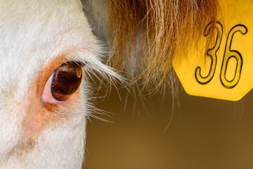 Close up of Hereford Cow with ear tag. Reflection in eye. Long eyelashes.
