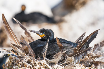Cape Cormorant incubating its eggs