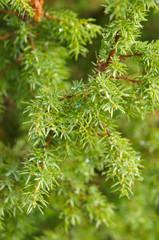 Branch of wet juniper tree
