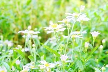 Blurred field of daisy flowers and sunlight for background.