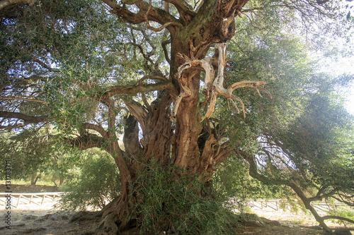 Antico ulivo millenario di luras in sardegna dell 39 et di for Acquisto piante ulivo