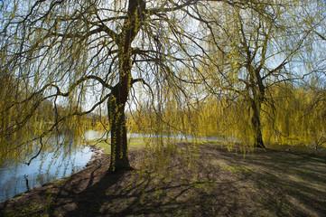 Willow at spring