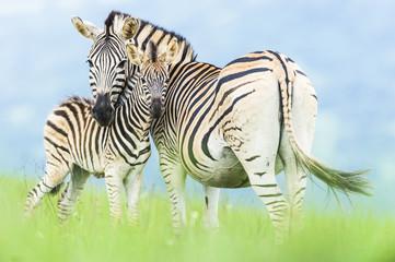 Burchelles Zebra foal nuzzles against its mother