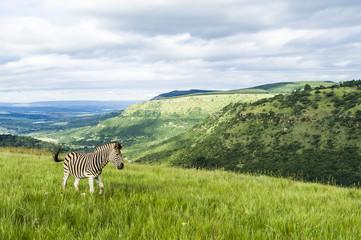 Burchelles Zebra stallion rolling green landscape