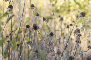 Dead coneflowers in Autumn