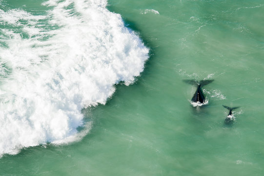 Southern right whale calf and adult swim in sea, Western Cape, South Africa
