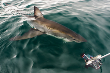 Researchers filming a Great White Shark as it swims past the boa