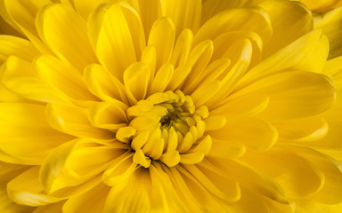 Yellow chrysanthemums wallpaper, macro image