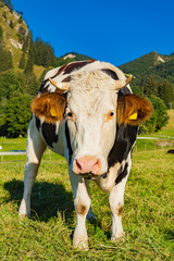 view of cow in grassland (bavaria)
