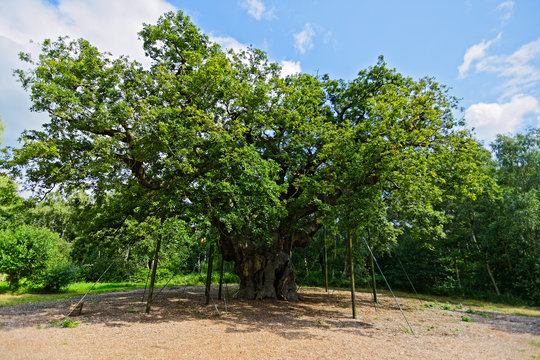 The Major Oak, in its summer foliage, stands in Sherwood Forest