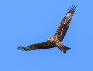 Black Kite Bird in flight on Blue Sky