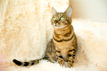 bengal cat with beautiful eyes on the carpet