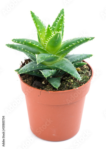 Aloe vera in a pot isolated on white stock photo and royalty free images on pic - Aloe vera en pot ...