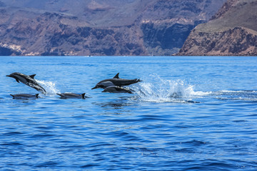 Dolphins jumping near the coast of a Isla Espiritu Santo in Baja California.