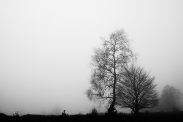 Trees in the mist at the Veluwe, The Netherlands