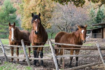 Famiglia di Cavalli quarter