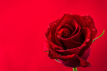 Red rose on red background.Love concept valentines day. Copyspace.