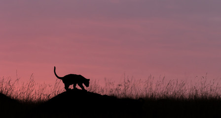 Silhouette of a Lion cub playing on an ant mound taken in Kenya with sunrise in the background.