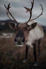 Closed Reindeer