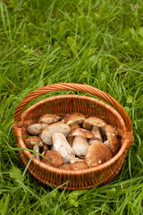 Delicate Mushrooms. Fresh Forest Edible Mushrooms Boletus Edulis In Wicker Basket On Green Grass Outdoor. Top View And Copyspace.