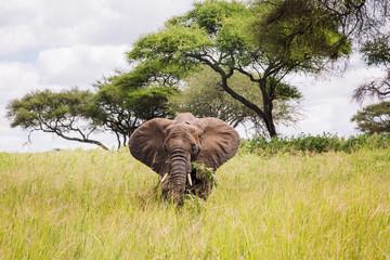 An elephant eats in the tall grasses of Tarangire National Park
