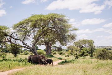 An elephant family in the shade in Tarangire Natioanl Park