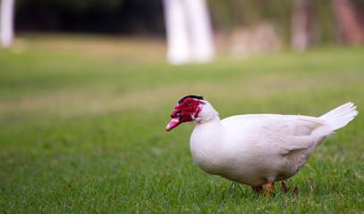 A Muscovy Duck Walking