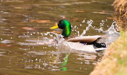 A Duck Landing in a Lake