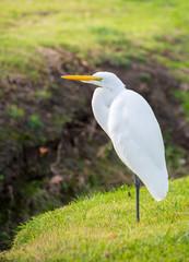 A White Egret Standing Near A Creek