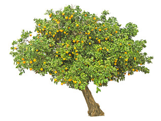 Orange tree on white background