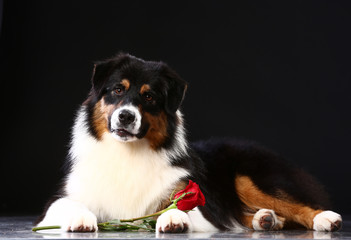 Valentine's day romantic black dog with red rose