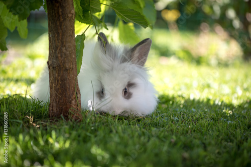 angora kaninchen im garten stock photo and royalty free images on pic 131860385. Black Bedroom Furniture Sets. Home Design Ideas