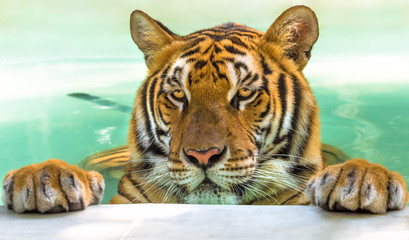 Close up of a big tiger in the water in Thailand, Asia. Wall mural