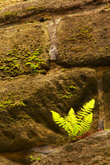 Fern on the stony wall